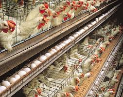 factory_farmed_chicken